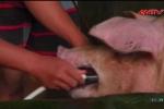 Cận cảnh đàn lợn 'bẩn' bị gian thương bơm nước đến chết ngất ở Bến Tre