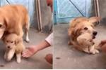Chó mẹ nhất định không cho chủ động vào con và lý do khiến người xem rơi nước mắt