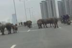 Clip: Đàn trâu nghênh ngang dạo chơi trên phố Hà Nội