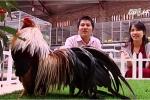 Ghé thăm trang trại 'gà vũ công' ngàn đô của tỷ phú trẻ Hà thành