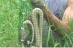 Video: Đặt bẫy rắn hổ mang ở Hà Nội và cái kết không ngờ