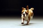 5 sự thật thú vị và kỳ lạ về loài chó khiến ai cũng sửng sốt