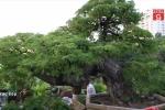 Cận cảnh cây me trăm tuổi giá 3,5 tỷ đồng ở TP.HCM