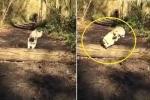 Phì cười clip chú chó Pug ngã 'dập mặt' khi vượt chướng ngại vật