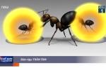 Loài kiến 'cảm tử' tự nổ bụng, phóng chất độc lên kẻ thù để bảo vệ tổ