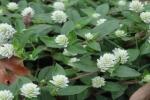 Mắc trầm cảm vì dùng thuốc từ cây cỏ chữa bệnh gout