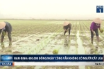 Nam Định: 400.000 đồng/ngày công vẫn không có người cấy lúa