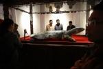 Video: Tiêu bản cụ rùa Hồ Gươm chết năm 2016 được đặt trong tủ kính gần 4 tỷ đồng