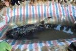 Cá heo nặng gần 3 tạ dạt vào bờ biển Quảng Nam