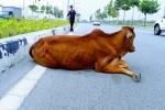 Con bò gây tai nạn 'biến mất' tại trụ sở công an: Chủ xe muốn làm rõ trắng đen