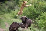 Clip: Hung hăng tấn công trâu rừng, đàn sư tử nhận cái kết 'đắng'