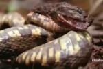 Xơi nhầm ếch độc, rắn chết ngay tại chỗ