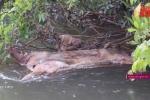 Kinh hãi dân vứt xác lợn lở mồm long móng xuống suối