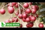 Video: Thâm nhập vườn nhãn tím độc nhất vô nhị của Việt Nam