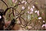 Hoa nở sớm, thủ phủ đào phai xứ Thanh mất Tết