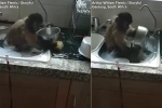 Clip: Khỉ ngồi chồm hỗm trong bồn, hăng say rửa bát giúp chủ
