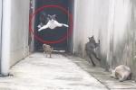 Clip: Mèo phi thân, chạy trốn kịch tính như phim hành động