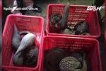 'Đột kích' kho tê tê, rắn hổ mang chúa nuôi trái phép tại nhà dân ở Bình Phước