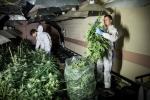 Anh: Biến hầm trú bom hạt nhân thành vườn cần sa