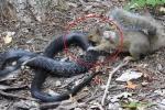 Clip: Sóc mẹ liều mạng tử chiến với rắn chuột để bảo vệ tổ