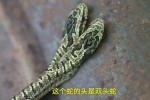Clip: Dân khiếp đảm phát hiện rắn 2 đầu bò vào nhà