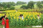Ảnh: Phát 'sốt' với cánh đồng hoa hướng dương ở Hà Nội
