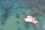 40 con cá mập khổng lồ điên cuồng xâu xé xác cá voi
