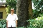 Bí ẩn sự 'đột tử' liên tục của 8 'cụ' muỗm ngàn tuổi ở một ngôi đền tại Hà Nội
