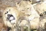 Lý giải nguyên nhân sư tử cái cắn chết bạn tình sau 8 năm chung sống