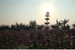 Video: Mục sở thị nông dân chiết tinh dầu húng quế, thu nửa tỷ đồng