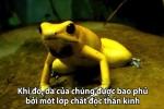 Nhận dạng loài ếch tiết chất độc thần kinh đủ đoạt mạng 20 người trưởng thành