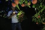 Nông dân Bắc Giang thức đêm chong đèn hái vải thiều