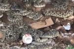 Clip: Dùng máy xúc lật cabin gỗ, rùng mình phát hiện ổ rắn nhung nhúc