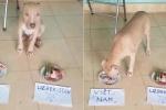 Chết cười clip chó pitbull 'thông minh' dự đoán U23 Việt Nam vô địch