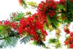 Thông tin cây phượng Hà Nội ra hoa suốt 4 mùa khiến giới khoa học kinh ngạc