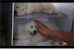 Video: Báo Anh đưa tin người Việt cho chó vào tủ lạnh tránh nóng