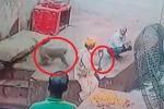 Clip: Khỉ láu cá cướp rắn hổ mang từ tay người dụ rắn