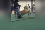 Video: Chủ nuôi bất cẩn, bé gái bị hổ vồ khi đang dạo chơi