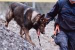 Chó cảnh sát nổ súng khi truy đuổi tội phạm