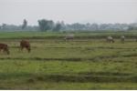 Thu phí chăn thả trâu, bò ở Thanh Hóa: Sẽ xin lỗi và trả lại tiền cho dân