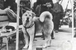 Chuyện khó tin về những chú chó trung thành nhất lịch sử
