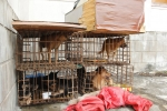 'Cẩu tặc' dùng xe máy gắn biển số giả chở 9 con chó đi bán