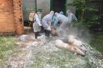 Tiêu hủy đàn lợn bị nhiễm virus dịch tả lợn Châu Phi ở Đắk Lắk