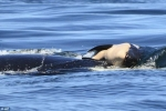 Điều gì lý giải việc cá voi mẹ nâng xác con suốt một tuần bơi qua đại dương?