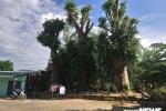 Ba cây khổng lồ mắc kẹt ở Huế sau khi bị CSGT xử phạt giờ ra sao?