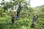 Video: Mưa đá, mất mùa, phụ nữ Sơn La vớt vát hái tỉa mận vỡ, mận sẹo