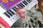 'Há hốc mồm' xem gà chơi trống, đánh đàn cực đỉnh