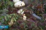 Lễ hội hoa hồng Bulgaria ở Hà Nội: Du khách 'vỡ mộng' vì thực tế khác xa quảng cáo