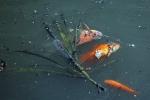 Ảnh: Cá chép chết nổi khi vừa được thả ở sông Tô Lịch