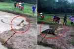 Cá sấu 'khủng' bị lũ cuốn trôi ra đồng, hung hăng chạy lên bờ đuổi dân